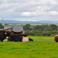 Highland cattle and belted jerseys at Gretna Green