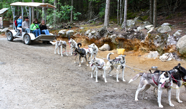 Sled dogs practice over the summer in Skagway, Alaska