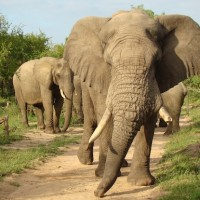 Elephants in Sabi Sands, South Africa