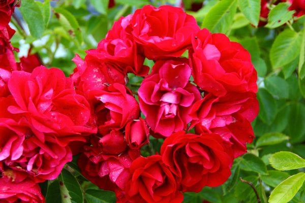 Kivik, Sweden, has the most beautiful roses!