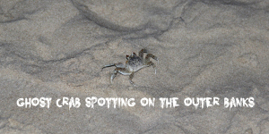 Ghost Crab spotting in The Outer Banks #obx